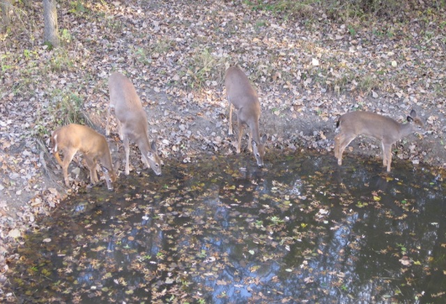 Whitetail does drinking water during the Rut
